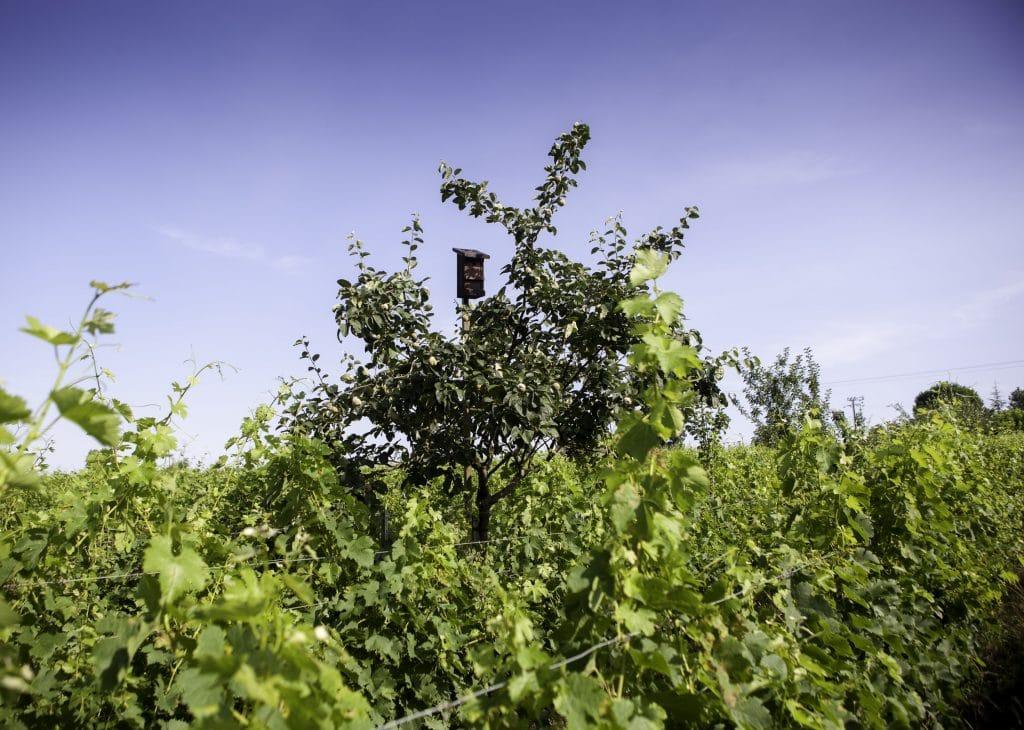 vignes bio chauves souris arbres fruitiers charente-maritime