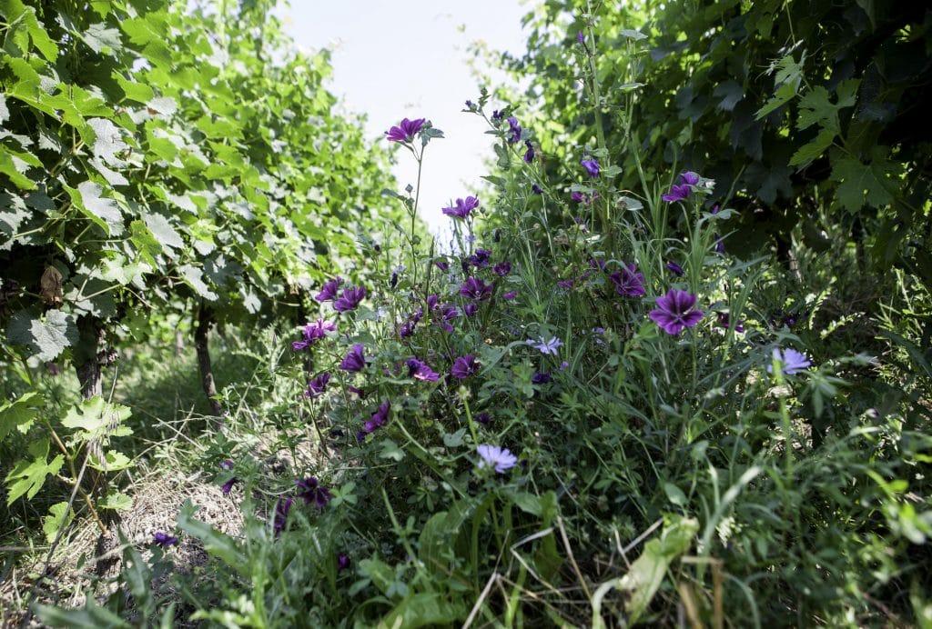 bio fleurs naturelles vigne raisin violet GAB17